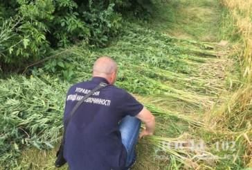На території недіючої тракторної бригади житель Теребовлі вирощував рослини коноплі