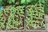 На городі біля хати чортківчанин облаштував незаконне городництво