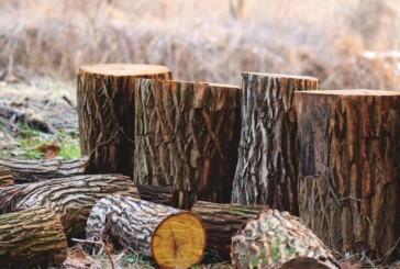 За незаконну порубку лісу відповідальність понесе житель Чортківщини