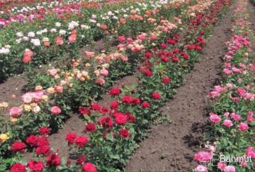 Покупка саджанців троянд через Інтернет обернулася для жінки втратою 50 тисяч гривень