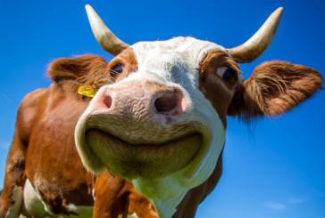 Заліщицькі поліцейські оперативно встановили зловмисника, причетного до крадіжки корови